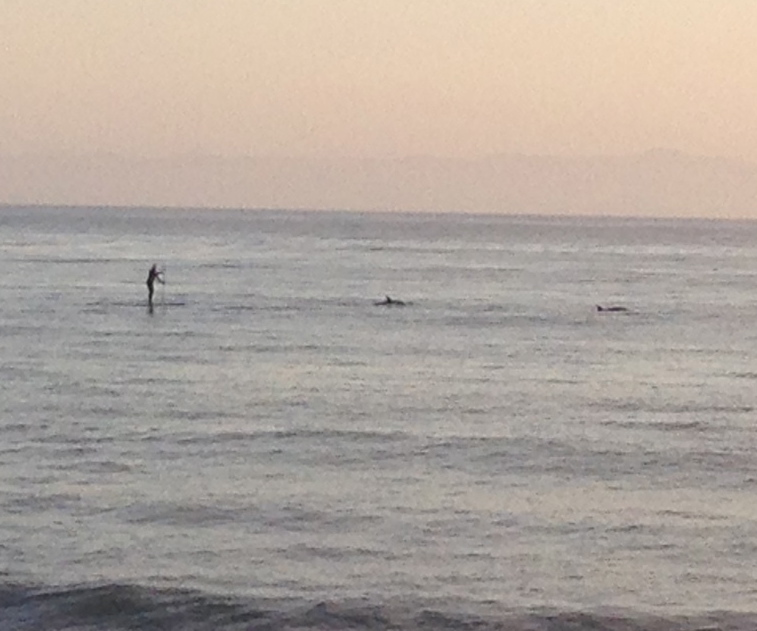 Paddle boarder and dolphins at Butterfly Beach