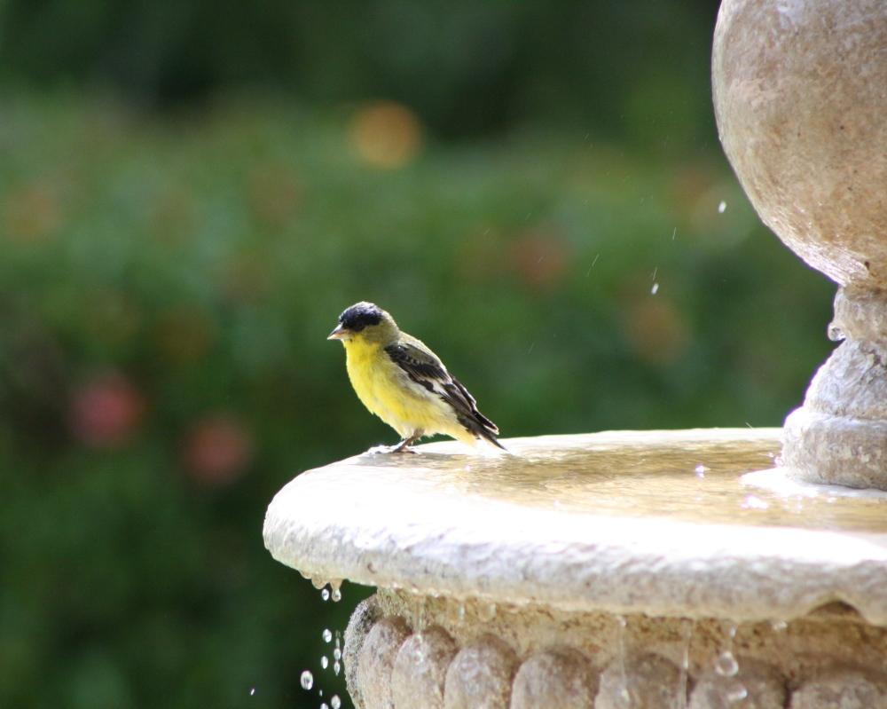 Santa Barbara garden visitor