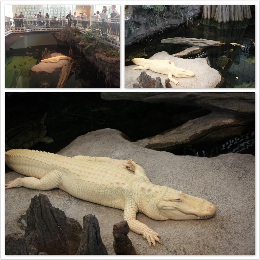 White alligator