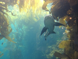 Kelp forest at Monterey Aquarium