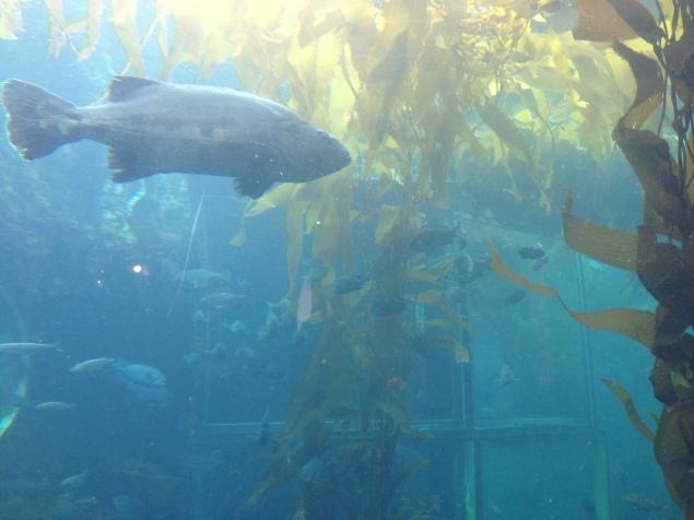 Kelp Forest at Monterey Aquarium
